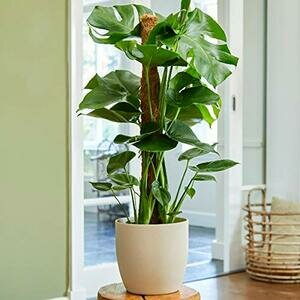 Plant Theory Monstera Deliciosa on Moss Pole Swiss Cheese Plant